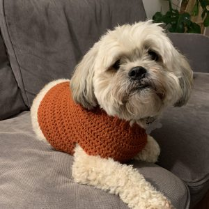 A fluffy dog trying on a crochet bespoke doggie jumper for size